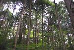 ヒノキ樹形